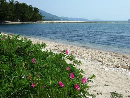 ハマナス咲く浜辺